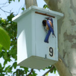 bluebird at nesting box