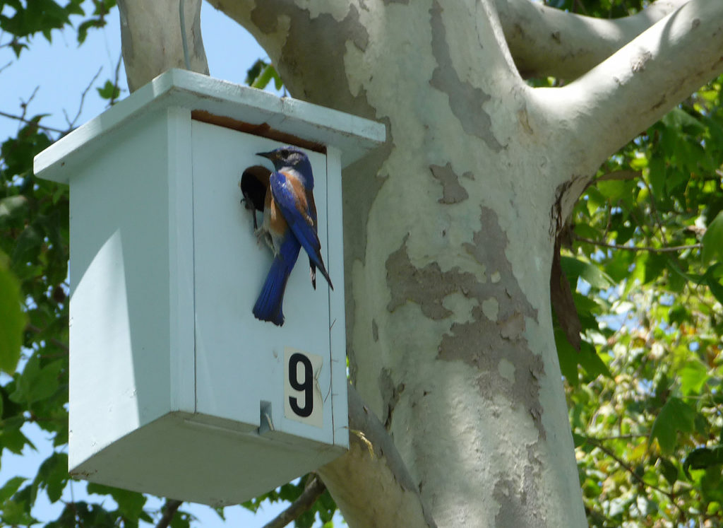 Bluebird at Nesting Box