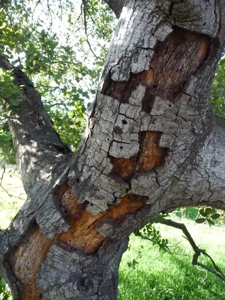Woodpeckers likely removed these sections of bark