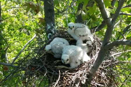 Tree Trimming Contractor Saves Nesting Hawks