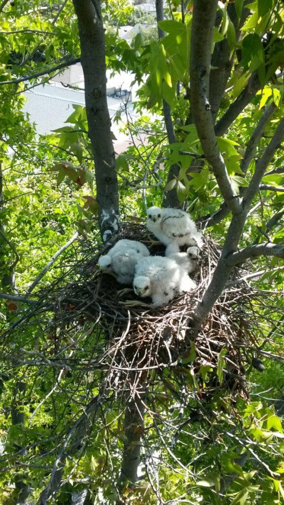 Baby hawks in nest in tree