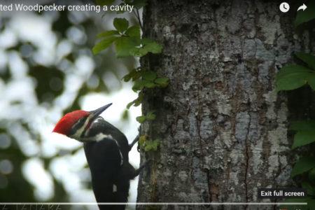 View the master bird carpenter at work!