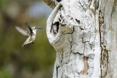Hummingbirds finds meals in dead trees