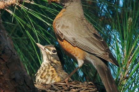 How to doom a Robin's nestlings without trying